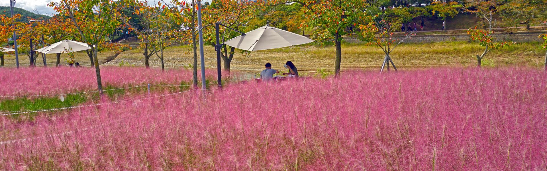 보문관광단지 사랑공원 핑크뮬리 절경